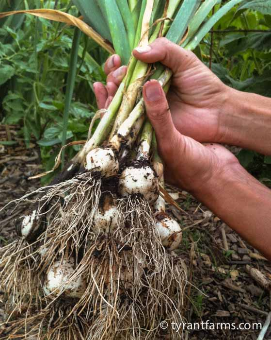 Hardneck garlic dug from the garden. www.TyrantFarms.com