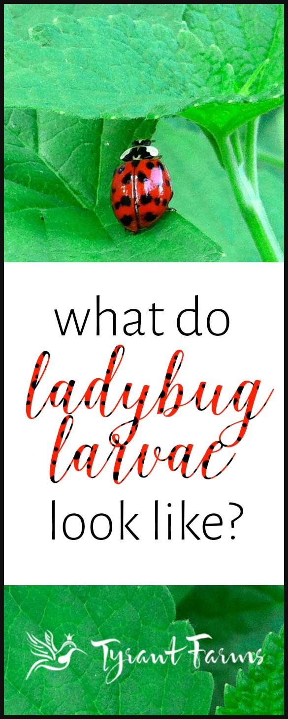 What Do Ladybug Larvae Look Like? - Tyrant Farms