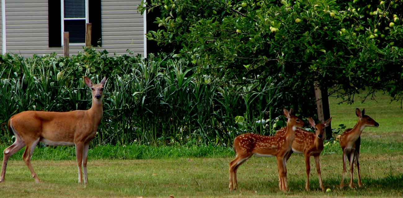 Dad's Trick: How to Keep Deer Out of Your Garden Or Yard thumbnail