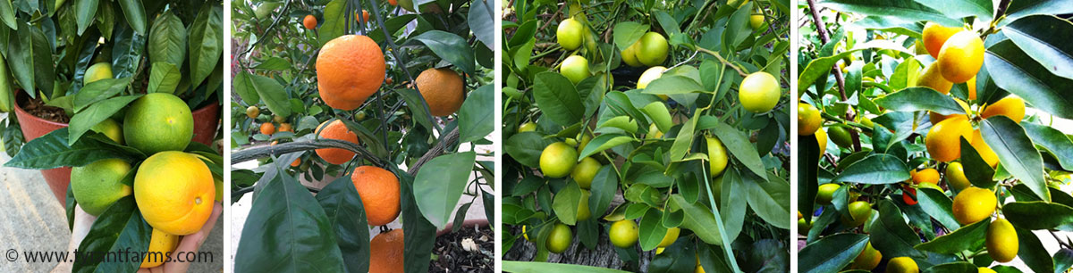 how to grow citrus in pots: Makrut limes. If you've ever experienced a delightful lime-like zing in Asian cuisine, there's a good chance it was from a Makrut lime leaf. A single leaf added to soup packs an amazing punch. The fruit is intense, and we enjoy making it into limeade.