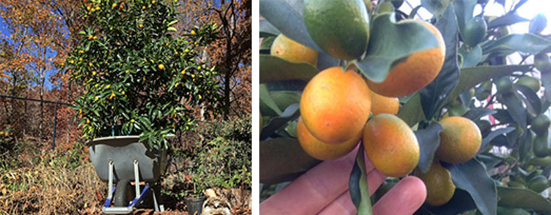 how to grow citrus in pots: Kumquat