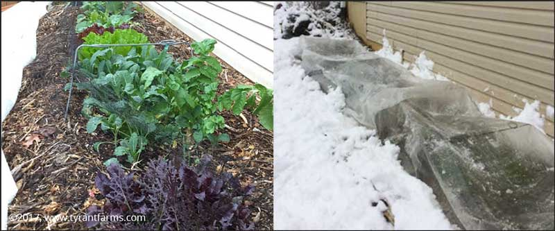 Winter gardening: Low tunnels on the side of our home.