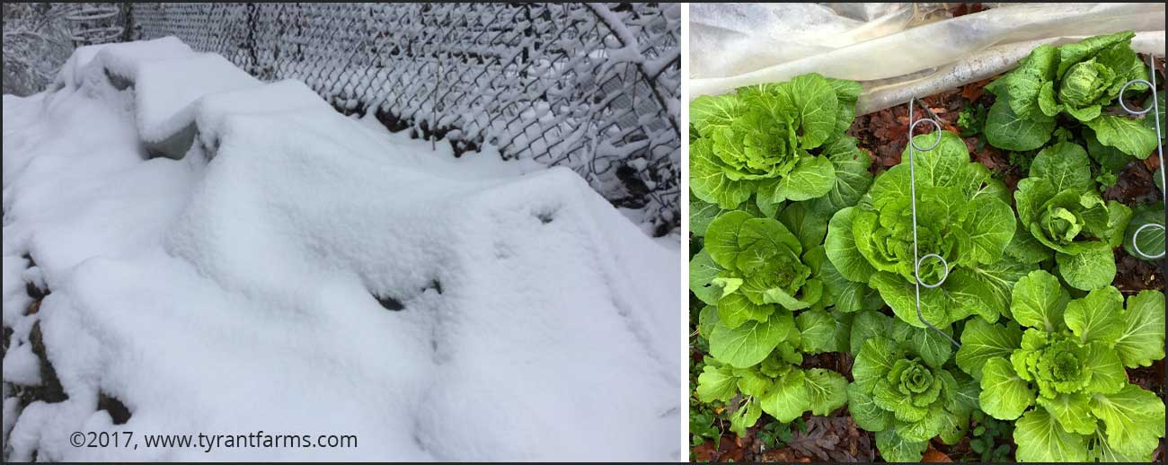 Winter gardening: Under that pile of snow is a low tunnel with a pile of Napa cabbage under it.