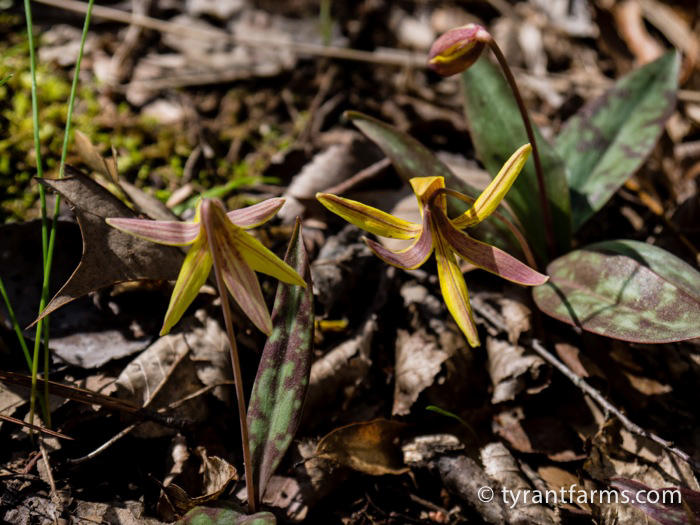 Eastern Trout Lilies in bloom.