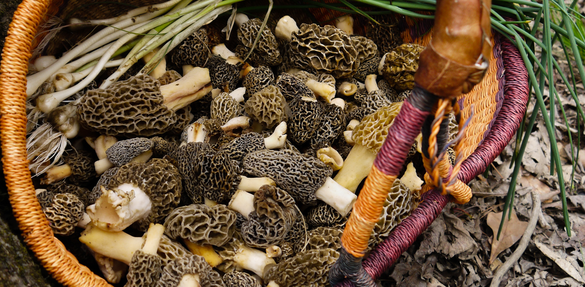 The Hunt For the Elusive Morel Mushroom thumbnail