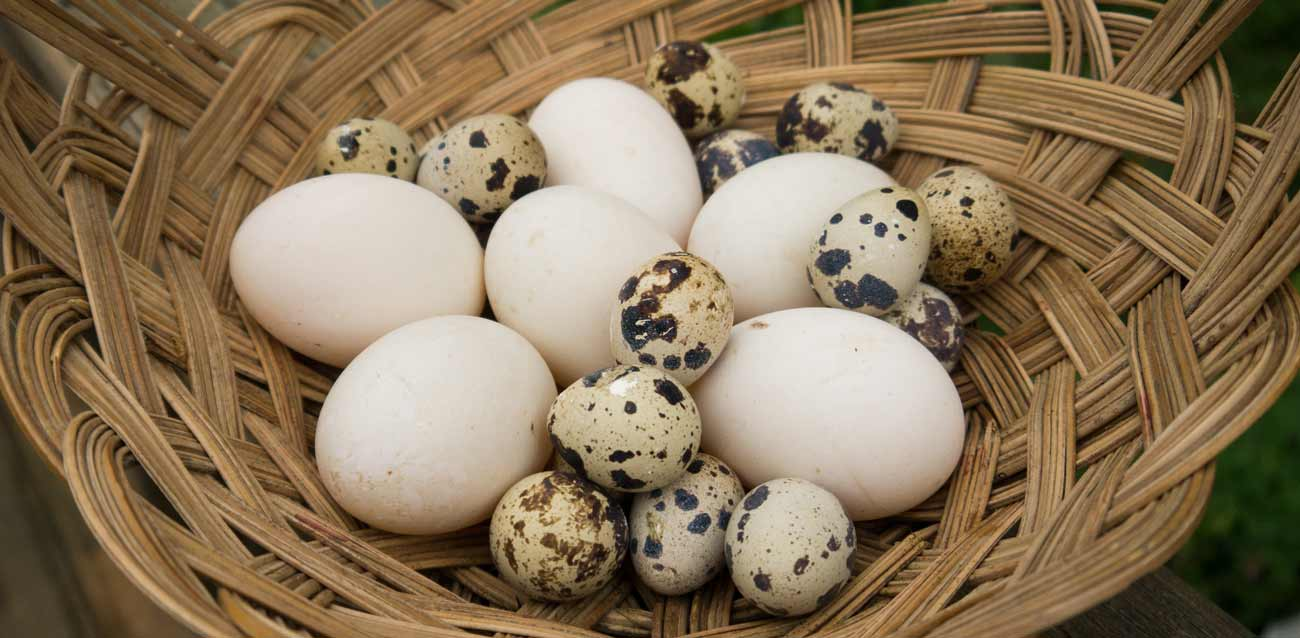 5 Things You Didn't Know About Duck Eggs thumbnail