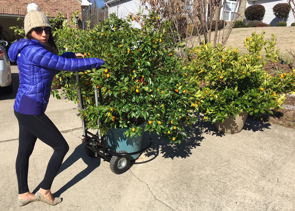 The Tyrant moving demonstrating how easy it is to move large potted citrus trees. -Tyrant Farms pot moving device